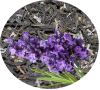 Иван-чай ЛАВАНДОВЫЙ ПРОВАНС с лавандой листовой